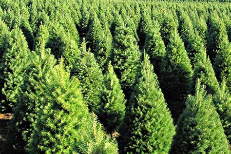 pinos de navidad naturales originales arboles de navidad