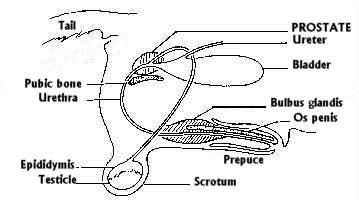 do dogs prostates diagram bladder diagram free engine image for user manual