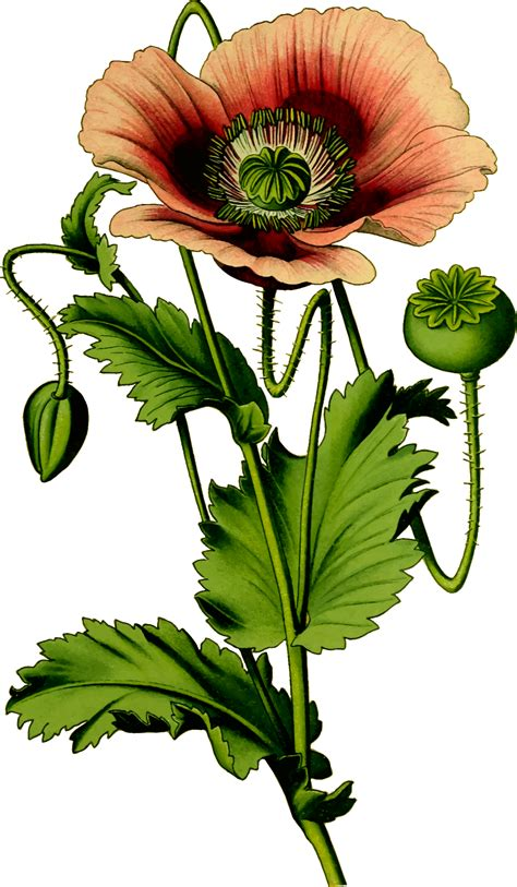 free clipart photos opium poppy plant vector clipart image free stock photo