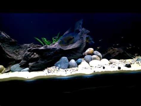 american aquascapes south american cichlid aquascape youtube