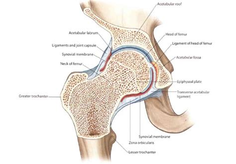 cross section of femur hip pain after sitting goes away after walking here s why