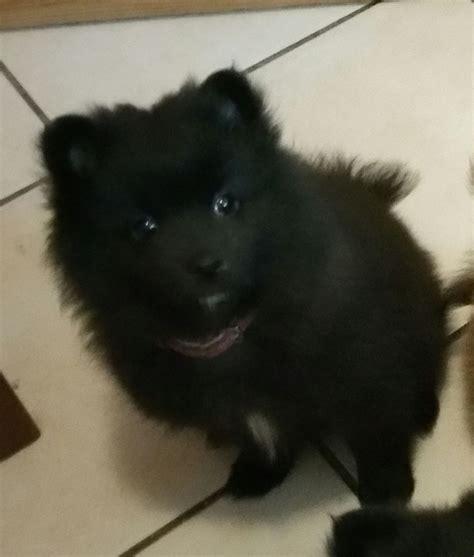 black teddy pomeranian puppies pomeranian black www pixshark images galleries with a bite