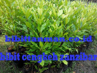 Jual Bibit Cengkeh Zanzibar Jawa Barat grosir bibit tanaman cengkeh murah unggul di purworejo jawa tengah