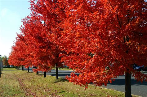 maple tree usda autumn blaze maples what are the benefits outdoor inspiration maple tree