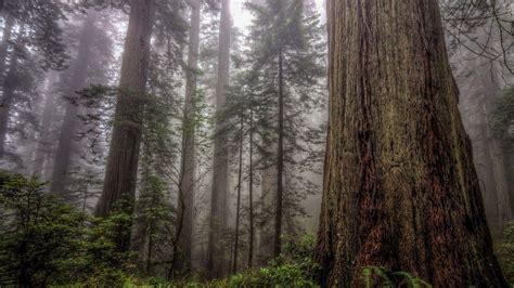 pohon pohon tinggi  hutan berkabut hd wallpaper desktop