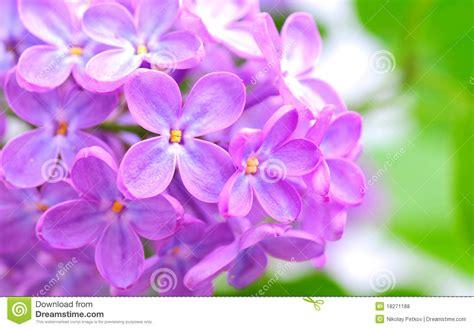 lilla fiore fiore lilla fotografie stock libere da diritti immagine