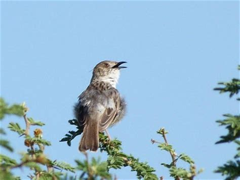 safari ecology why do birds sing in the morning