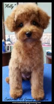 different styles of hair cuts for poodles 17 best ideas about poodle haircut on pinterest poodle