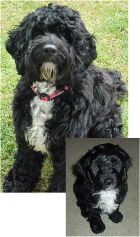 cockapoo haircuts before and after cockapoo before and after puppy power pinterest