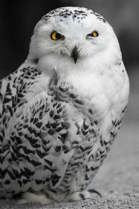 amazoncom snowy owl snowy owls 2013 everything you need to