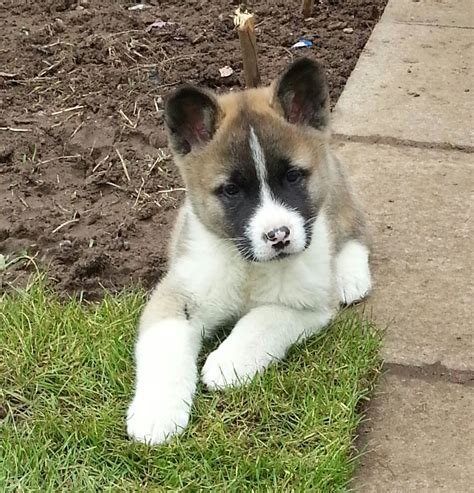 akita puppy for sale american akita puppies for sale last pup glasgow lanarkshire pets4homes