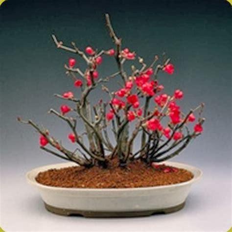 cotogno da fiore il cotogno da fiore 232 tra i bonsai a precoce fioritura