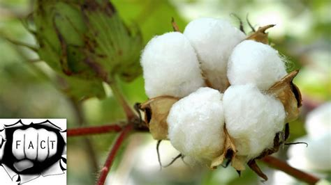 best cotton top 10 cotton producing states in india 2015 16 youtube