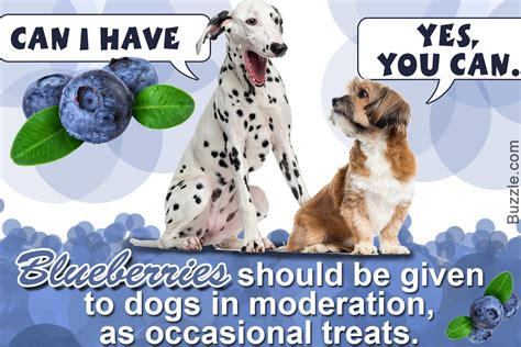 are blueberries ok for dogs is it really safe to feed blueberries to dogs