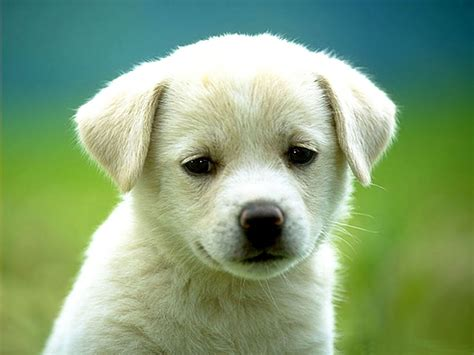 wallpapers beautiful dog hd wallpapers