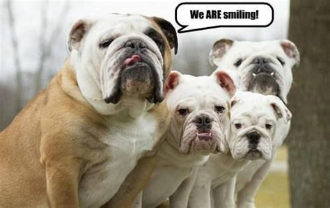 Bulldog Meme - the gallery for gt funny english bulldog memes