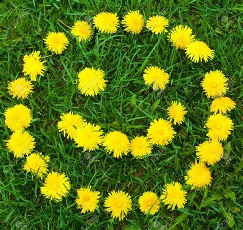 jual bibit bunga dandelion bunga cantik bisa dijadikan teh