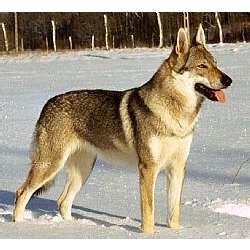 czechoslovakian wolfdog puppies czechoslovakian wolfdog puppies for sale from reputable breeders