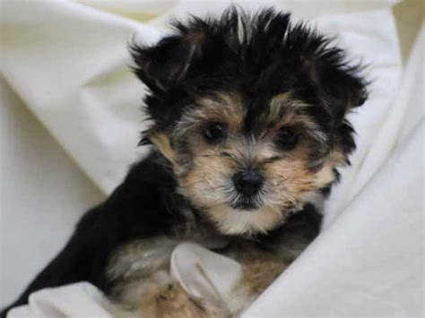 bichon yorkie puppies yorkie bichon happiness is pets archive