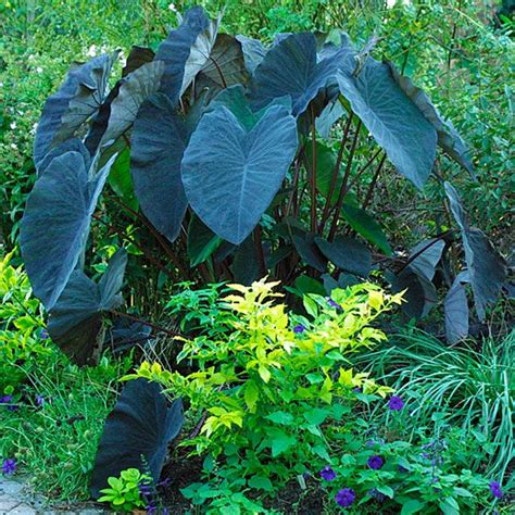 black magic elephant ears care and info garden pinterest