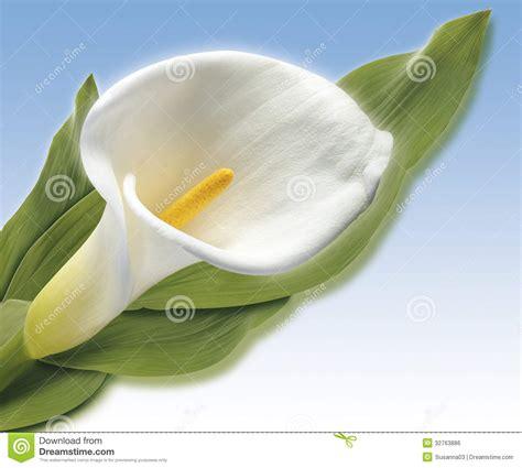 white cala royalty free stock image image 32763886