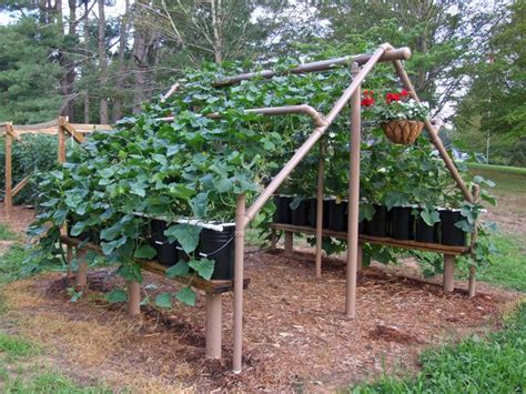 Trellis For Cucumbers In Pots container cucumbers on a trellis2 town country gardening