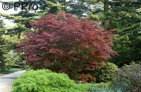 Japanischer Fächerahorn Kaufen 699 roter f 195 164 cherahorn bloodgood acer palmatum bloodgood