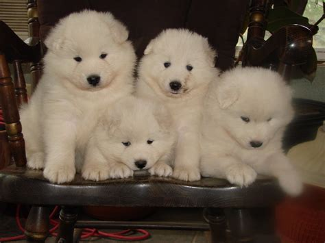 samoyed puppies for sale nc 100 samoyed dogs for sale near me puppies of samoyed images u0026