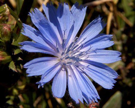 fiori di bach chicory chicory cichorium intybus