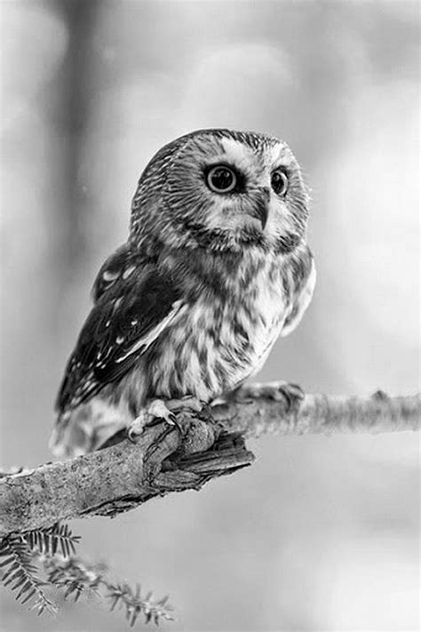 best 25 baby owl name ideas on pinterest baby owl owl