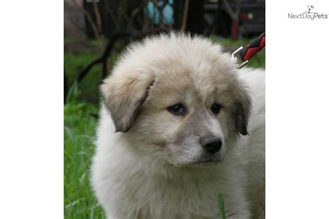 puppies for sale in fargo nd great pyrenees puppies sale price photo breeds picture
