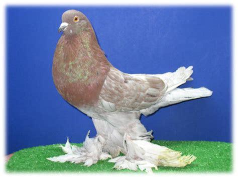 pomeranian pouter pigeonclubsusa