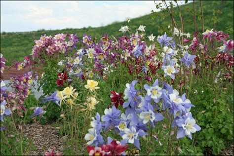 growing columbine flower how to care for columbine
