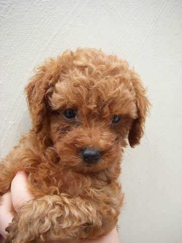 poodle puppies for adoption poodle puppies for sale adoption from johor sekudai adpost classifieds