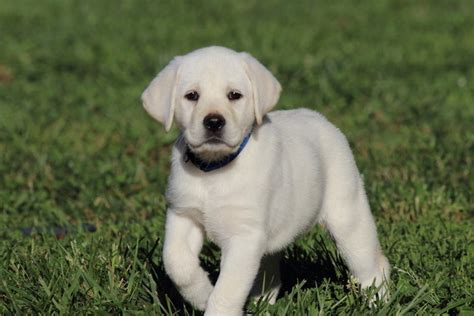 labrador puppy price yellow labrador puppy price dogs our friends photo