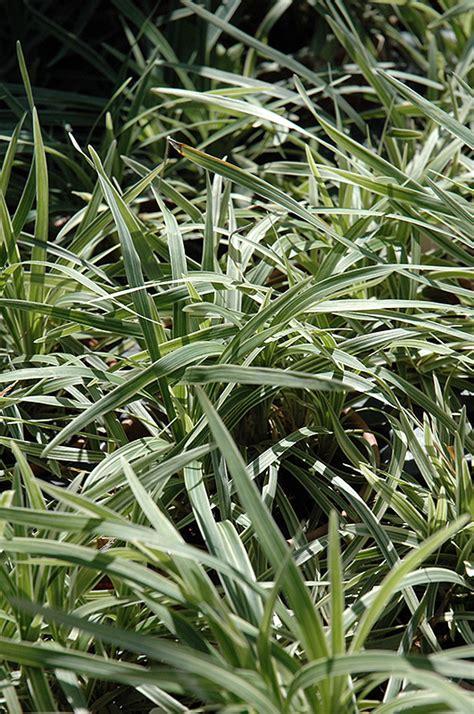 aztec grass lily turf liriope muscari aztec grass