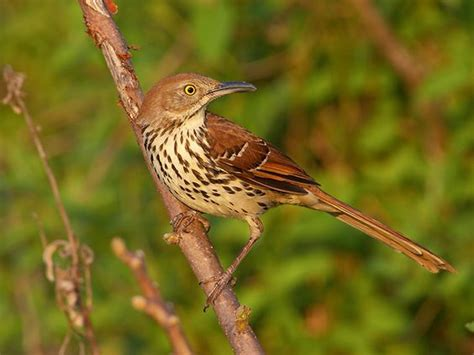 brown thrasher birds i ve seen pinterest brown