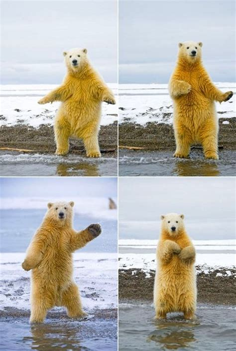 Dancing Polar Bear Meme - funny polar bear dancing