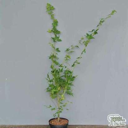 buy acer palmatum sango kaku japanese maple   uk
