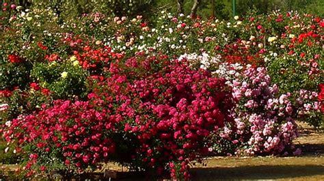 imagenes de jardines con rosales cuidados de rosas y rosales ideas para jardines y decoraci 243 n