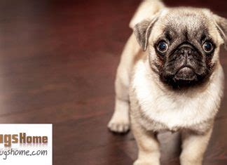 pugs for sale tx the cutest pugs in the world pugs home