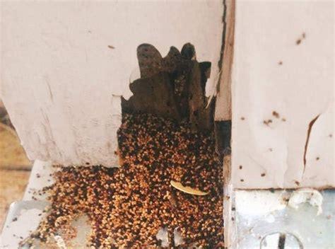 western drywood termites uc master gardeners diggin