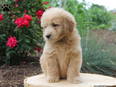 mini doodle puppies for sale mini goldendoodle puppy for sale from parkesburg pa doodles