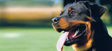 how to your obedience obedience how to your rottweiler pets world