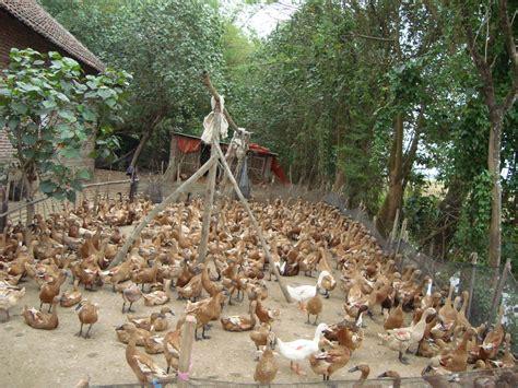 Jual Dod Bebek Hibrida Di Bogor harga jual harga bibit bebek petelur rumah hijau organik