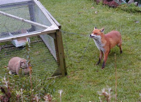 Giant Rabbit Hutch File Urban Fox And Rabbit Jpg Wikimedia Commons