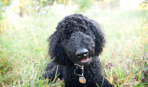 lifespan of standard poodle poodle breed information