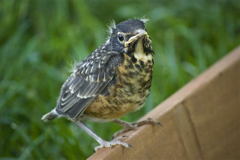 robin fledgling this baby robin has left the nest he is