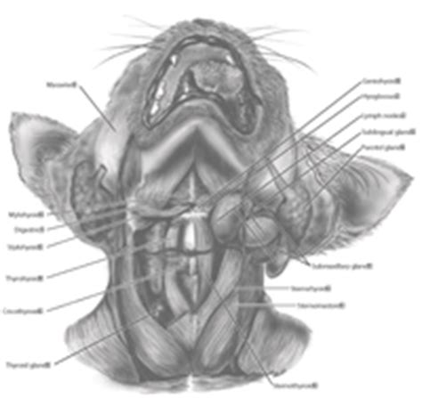 cat neck muscles diagram on the cutting edge ap 174 biology mammalian structure and