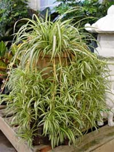 spider plant low light best indoor plants thrive with low light and less water